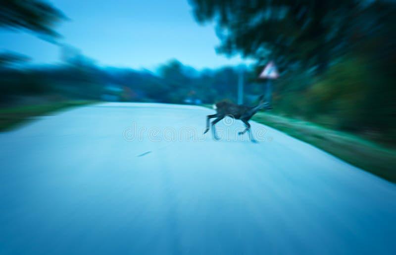 路危险鹿 免版税图库摄影