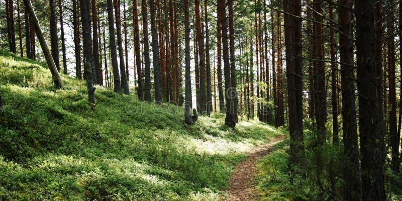 路在杉树树丛里 晴朗日的夏天 库存照片