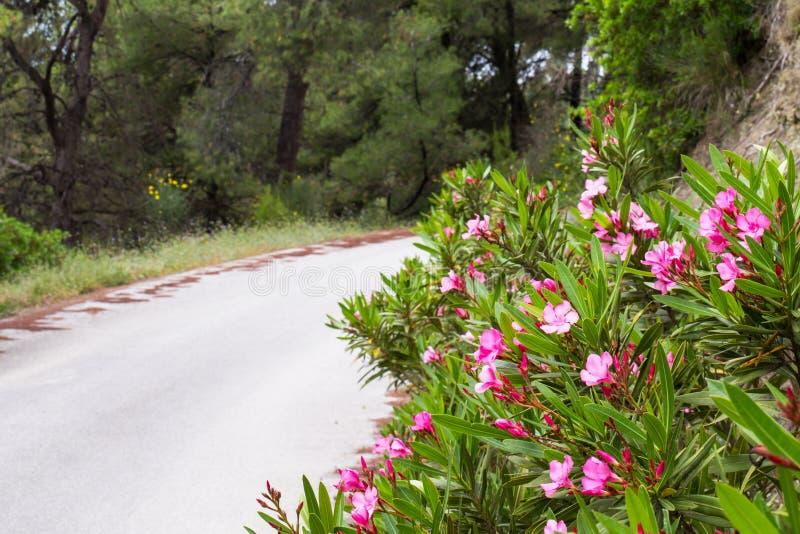 路在森林、树和桃红色夹竹桃里开花 库存照片