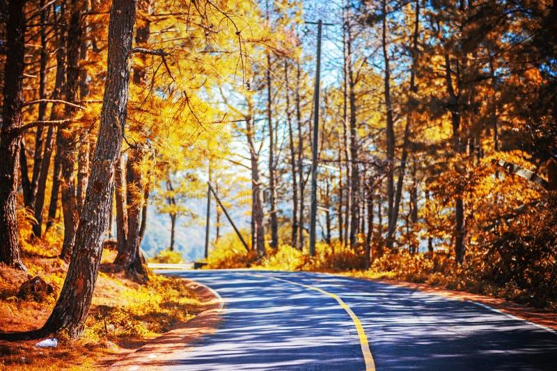 路在金黄杉木森林里 库存图片