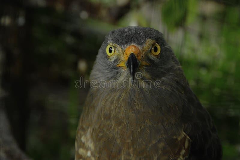 路旁鹰被栖息在Toucan抢救大农场,野生生物救援机构在圣伊西德罗de埃雷迪亚,哥斯达黎加 库存图片
