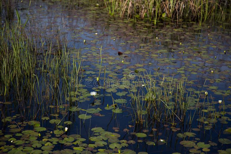 路易斯安那有美国白色,waterlily睡莲叶和芦苇的沼泽沼泽地在黑暗的喜怒无常的水中 库存照片