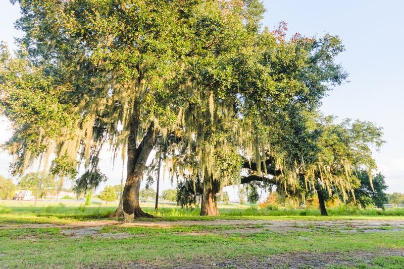 路易斯安那橡树 免版税库存图片