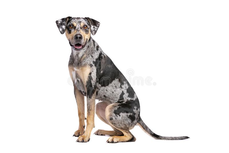 路易斯安那Catahoula豹子狗 库存图片