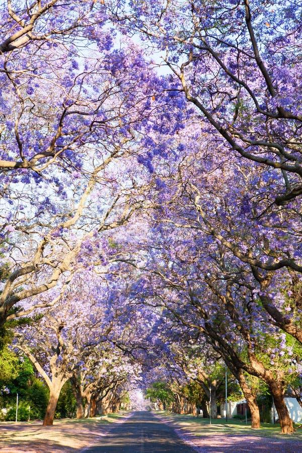 路标示用在绽放的美丽的紫色兰花楹属植物树 库存图片