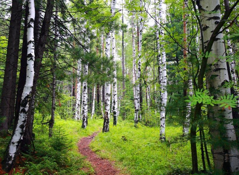 路线的桦树树丛在伟大的贝加尔湖足迹 库存图片