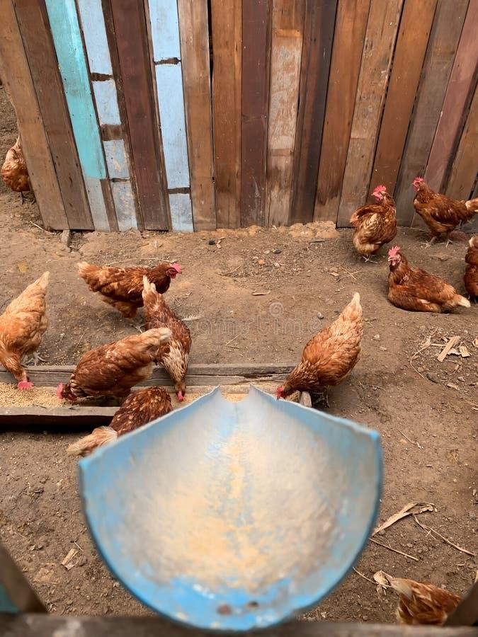 路轨哺养的母鸡在农场 免版税库存照片