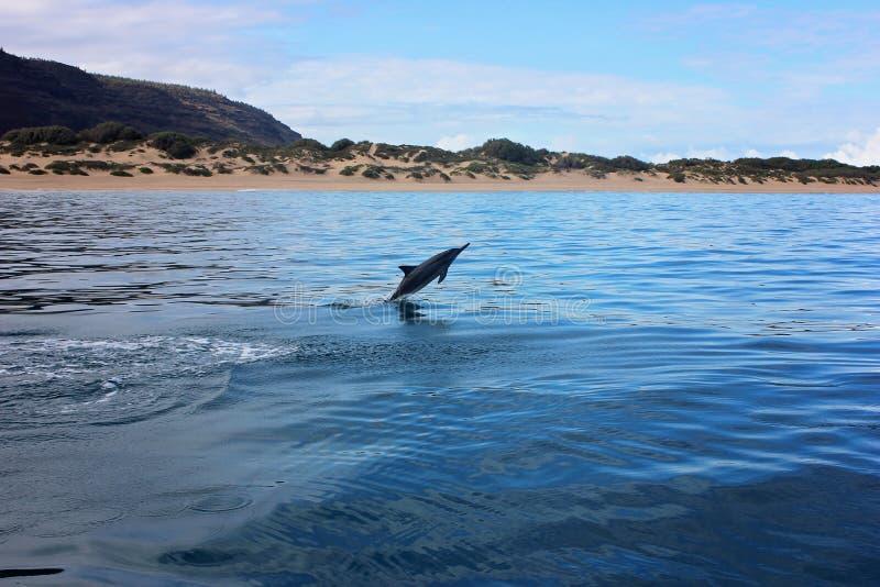 跳出水的海豚在海洋在海滩附近 免版税库存图片