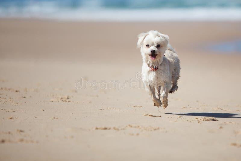 跳含沙小的海滩逗人喜爱的狗 免版税图库摄影