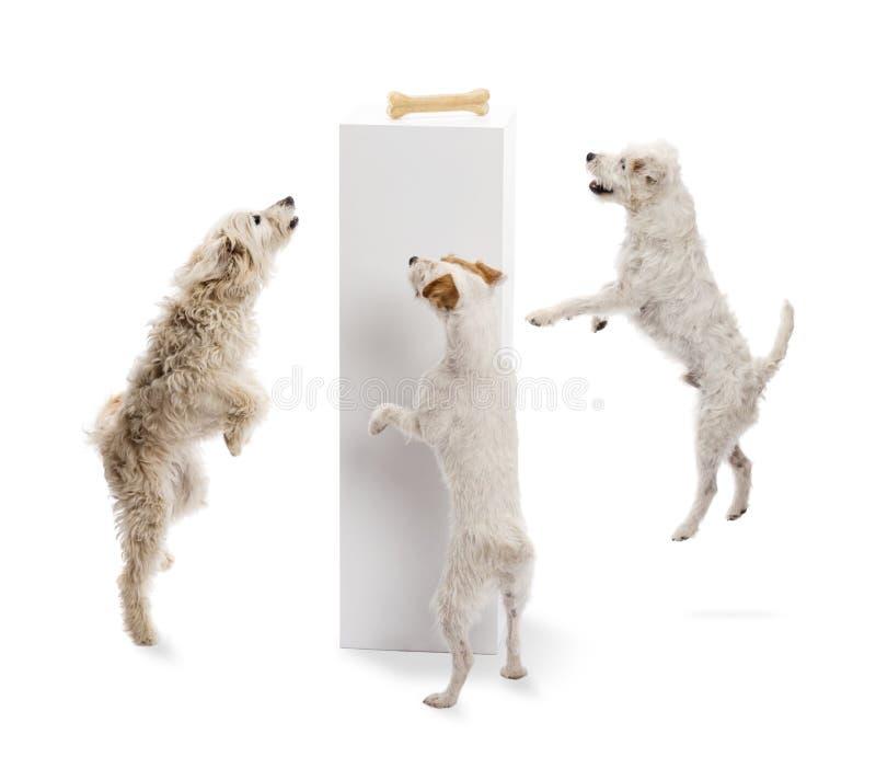 跳和查看在垫座的狗一根骨头 免版税库存图片