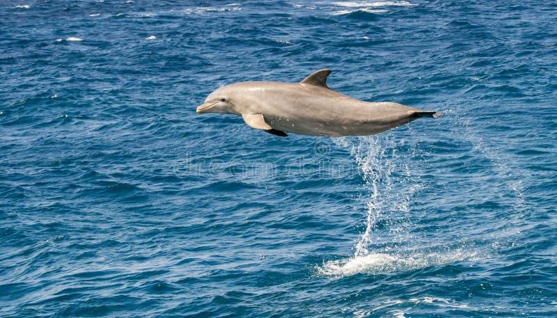 跳在海洋的海豚 免版税库存照片