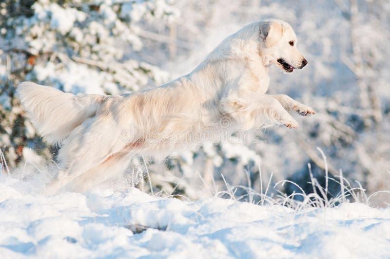 跳在雪的金毛猎犬狗 免版税库存照片