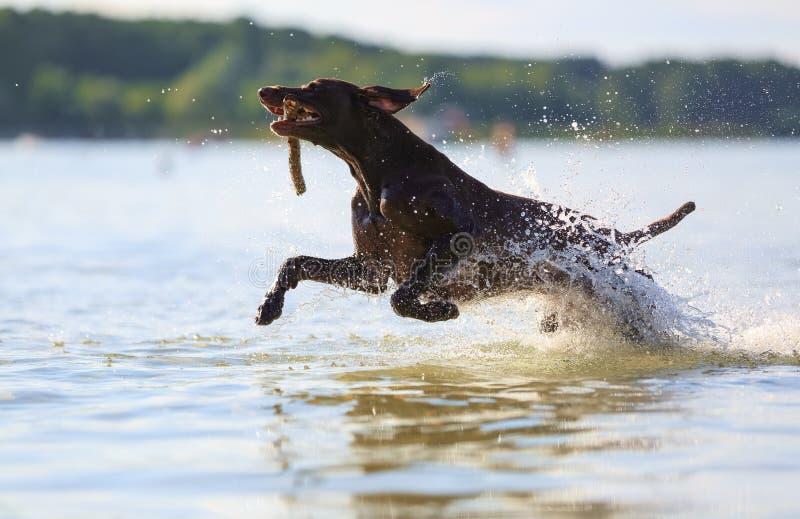 跳在飞溅的水,愉快的狗使用与嘴的棍子举行在好日子 短发德国狩猎的指针 免版税库存图片