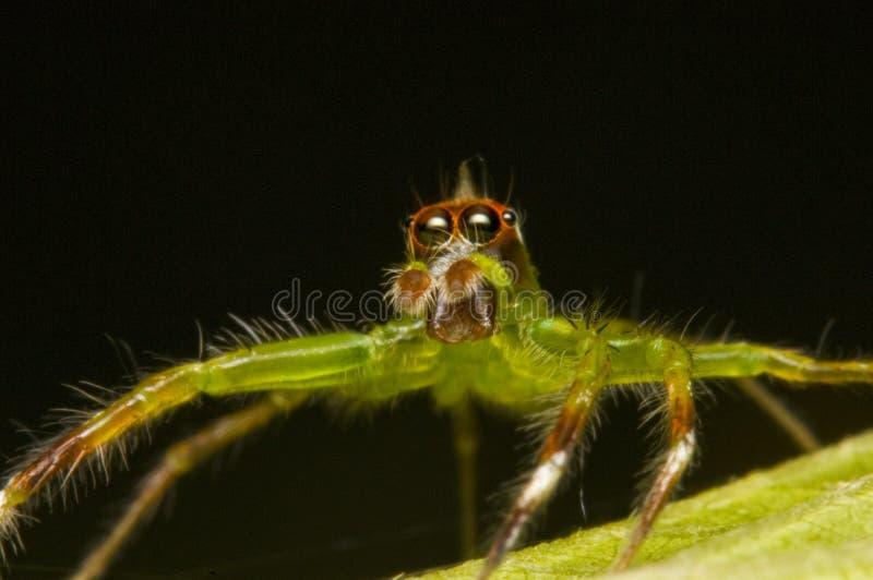 跳宏观射击蜘蛛的epeus 库存照片