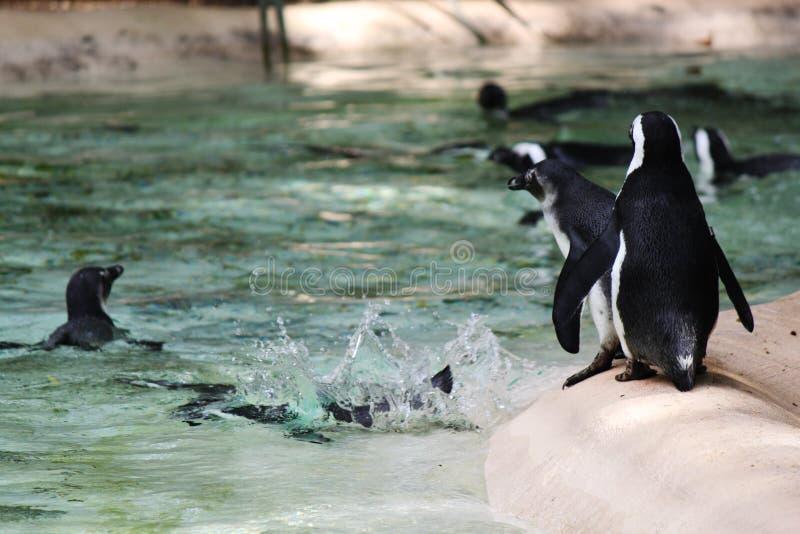 跳的企鹅动物园 免版税库存图片