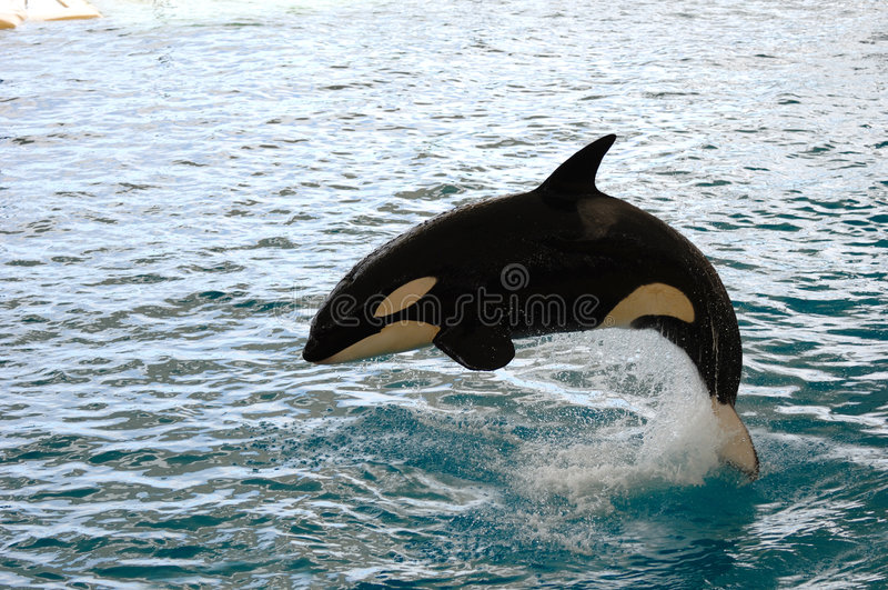 跳的虎鲸 库存图片