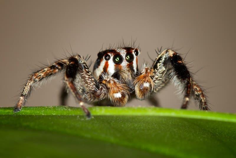 跳的蜘蛛 库存图片