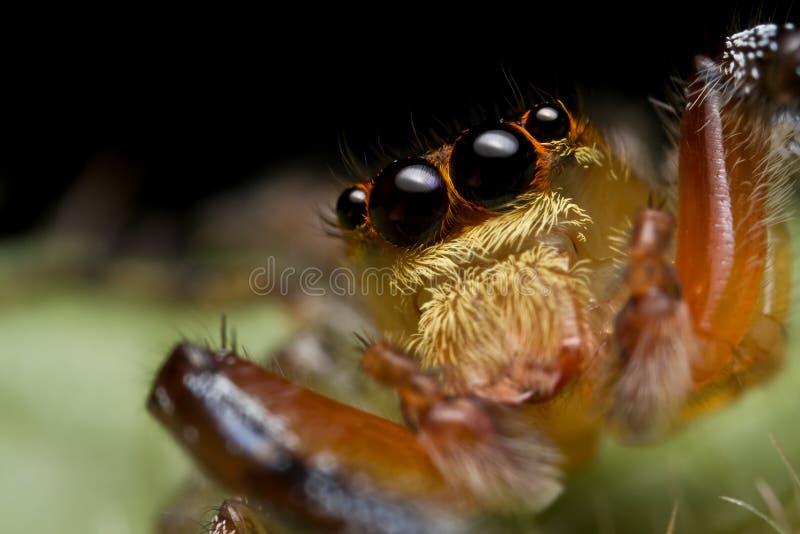 跳的salticidae蜘蛛 库存图片
