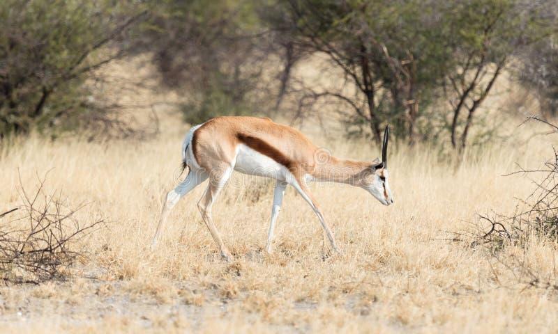 跳羚羚羊在它的反缝制施舍贫民衣服妇女会marsupialis ` s自然habi 库存图片