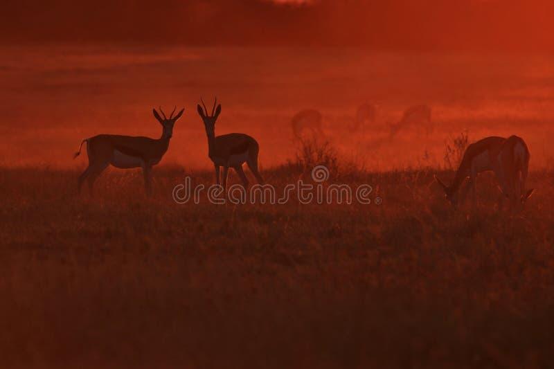 跳羚-野生生物背景-自由和颜色剪影  免版税库存照片