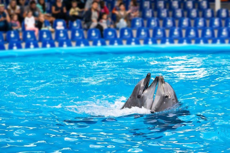 跳舞在浅兰的水中的对美丽的愉快的海豚  库存照片