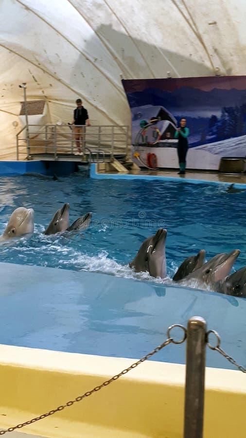 跳舞在dolphinarium的几只海豚链子  免版税库存照片