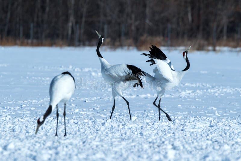 跳舞对与开放翼的红被加冠的起重机粗碎屑japonensis在多雪的草甸,联接的舞蹈仪式 库存图片