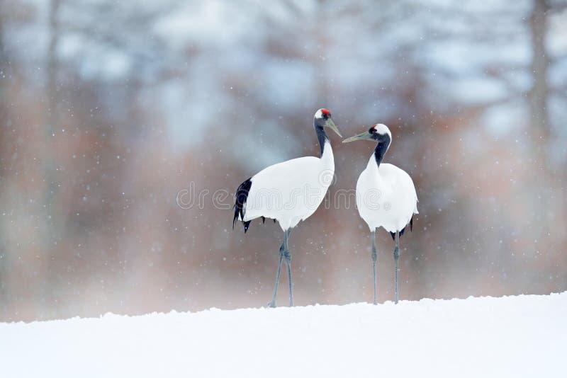 跳舞对有在飞行中开放翼的红被加冠的起重机,与雪风暴,北海道,日本 在飞行,与雪的冬天场面的鸟 库存照片