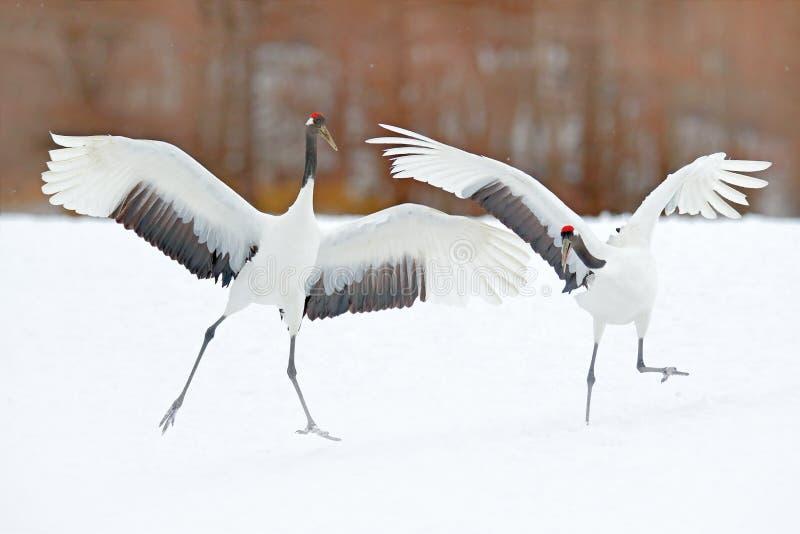 跳舞对有在飞行中开放翼的红被加冠的起重机,与雪风暴,北海道,日本 在飞行,与雪的冬天场面的鸟 库存图片