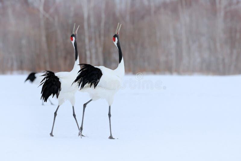 跳舞对有在飞行中开放翼的红被加冠的起重机,与雪风暴,北海道,日本 在飞行,与雪的冬天场面的鸟 免版税库存照片