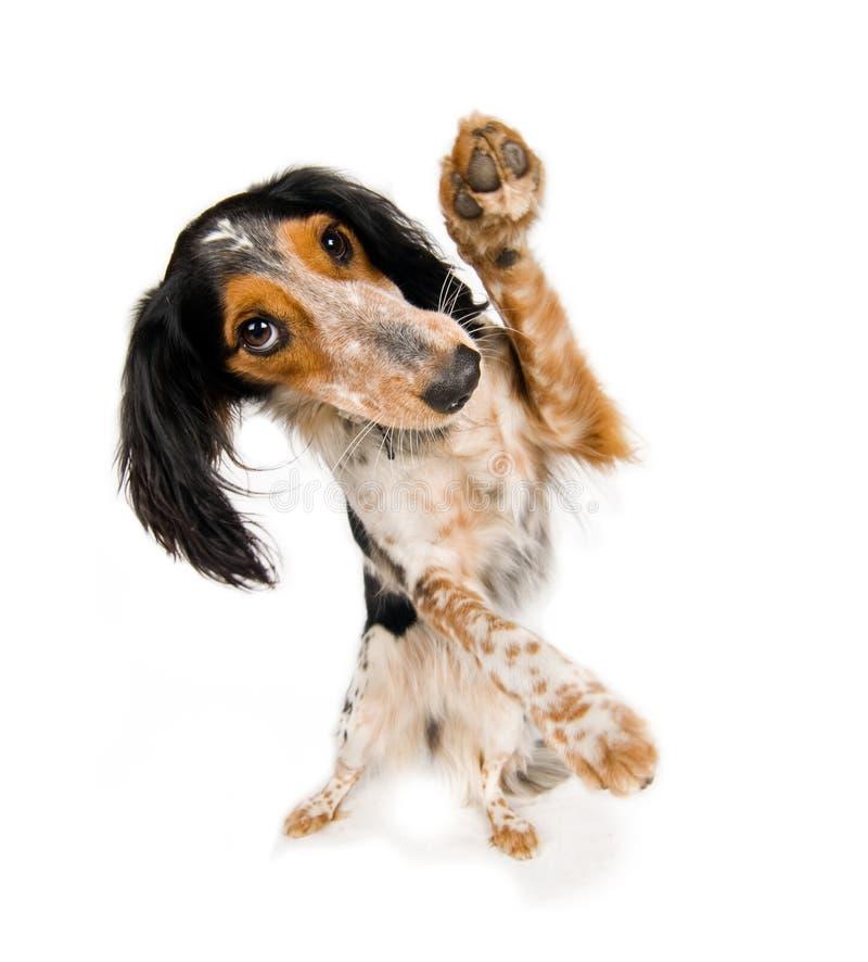 跳舞小狗 库存照片