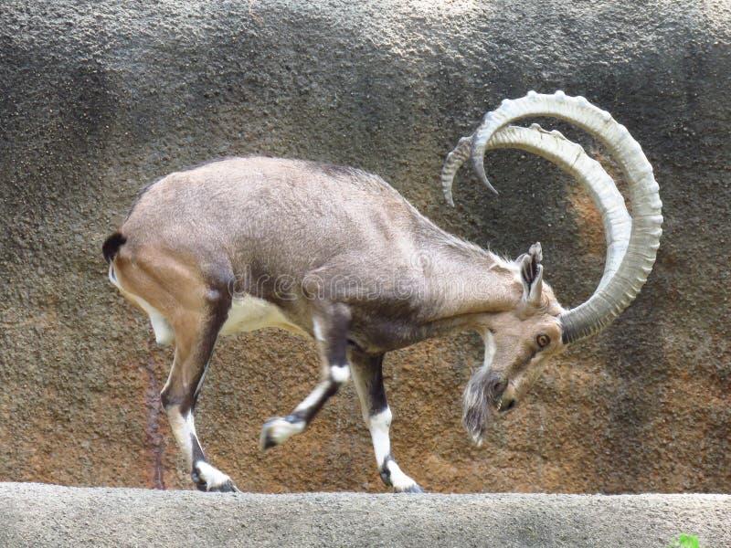 跳舞山羊 免版税库存照片