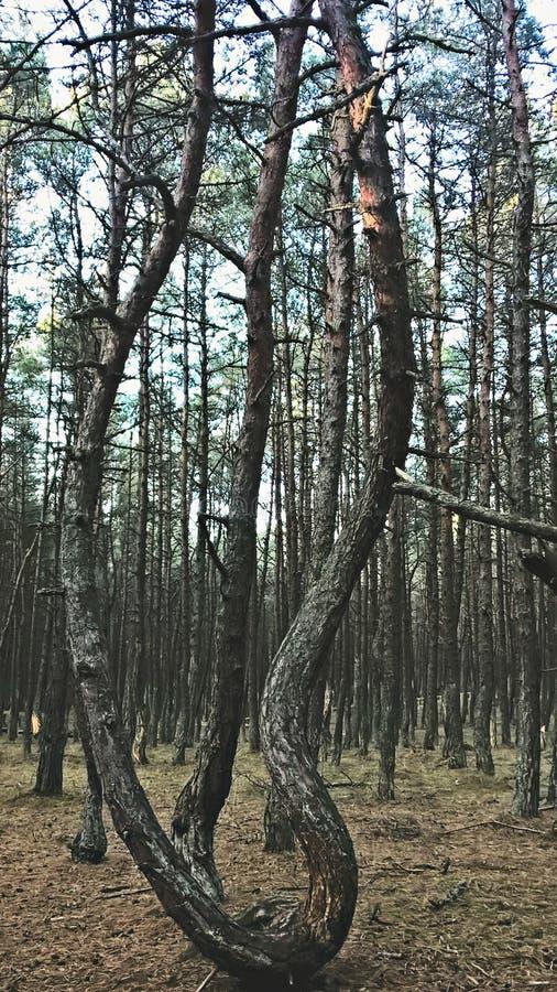 跳舞森林 免版税库存照片
