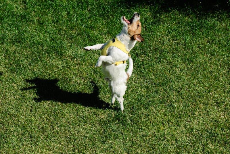 跳舞狗 图库摄影