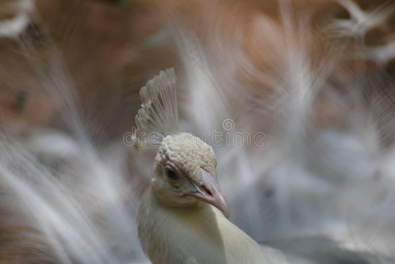 跳舞白色孔雀 免版税库存图片