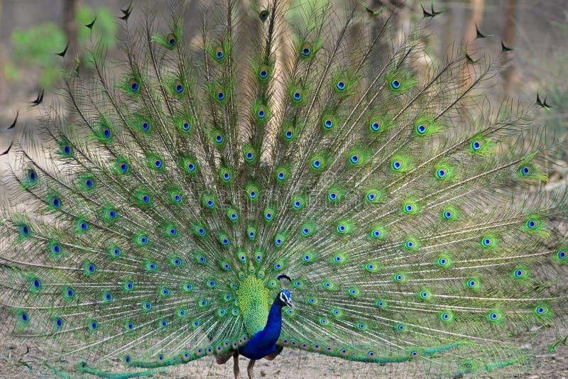 跳舞的印第安孔雀 免版税库存图片