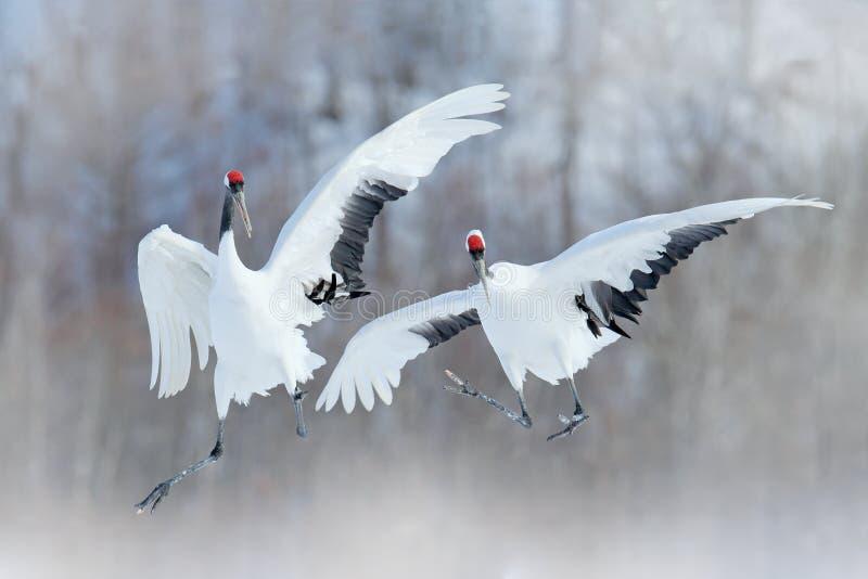 跳舞的对有开放翼的红被加冠的起重机,冬天北海道,日本 斯诺伊舞蹈本质上 求爱美丽大 免版税库存图片