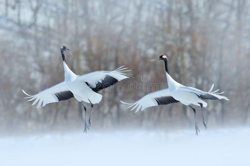跳舞的对有开放翼的红被加冠的起重机,冬天北海道,日本 斯诺伊舞蹈本质上 求爱美丽大 免版税图库摄影