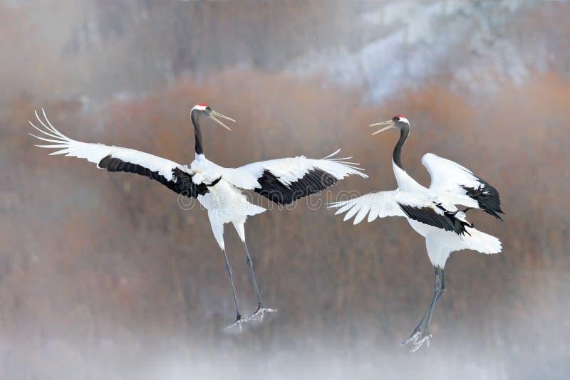 跳舞的对有开放翼的红被加冠的起重机,冬天北海道,日本 斯诺伊舞蹈本质上 求爱美丽大 免版税库存照片