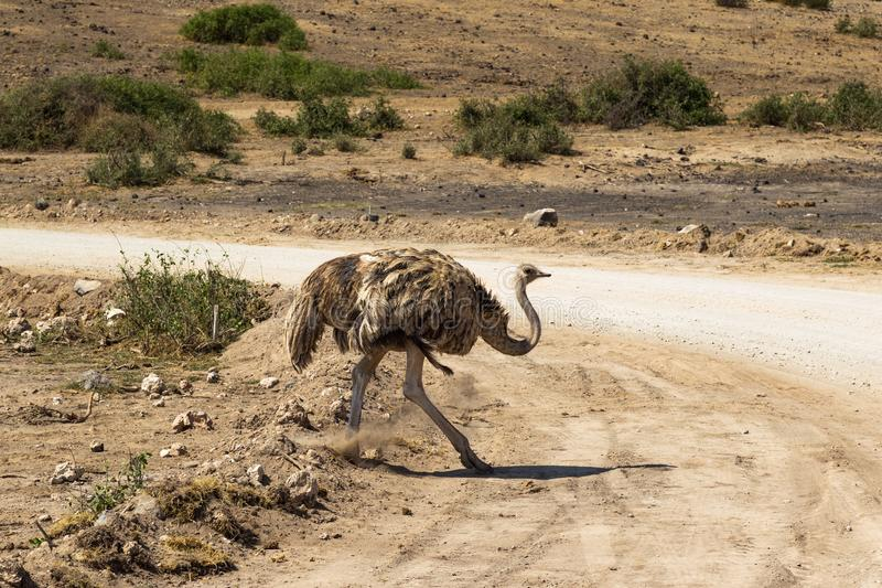 跳舞的母驼鸟 Amboseli,肯尼亚大草原  图库摄影