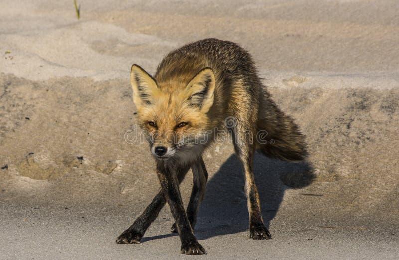 跳舞Fox 免版税图库摄影