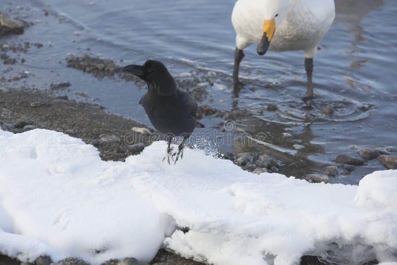跳跃与旁观者的雪的密林乌鸦 免版税库存图片