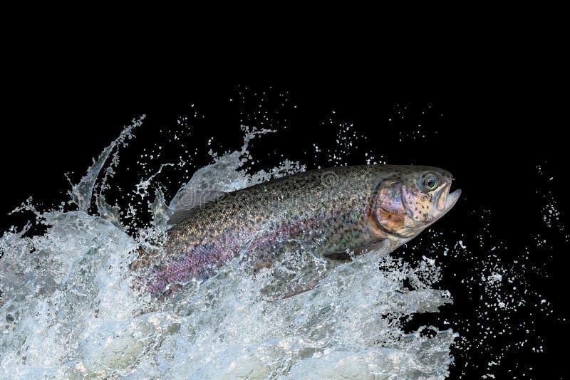 跳跃与飞溅的鳟鱼鱼在水中 免版税库存照片