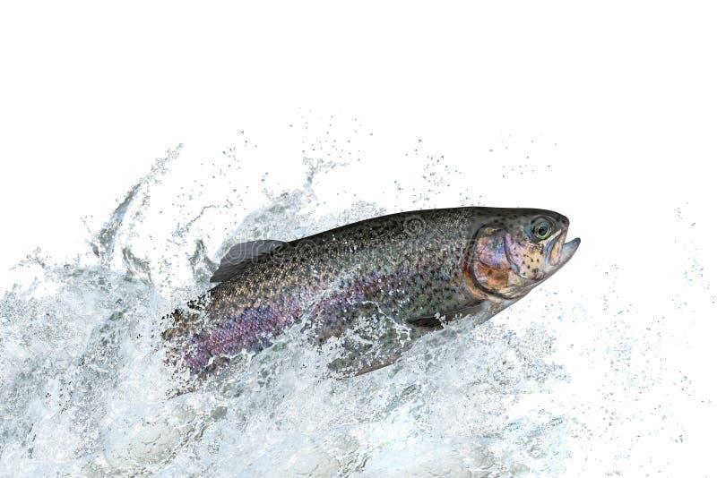 跳跃与飞溅的鳟鱼鱼在水中 免版税库存图片