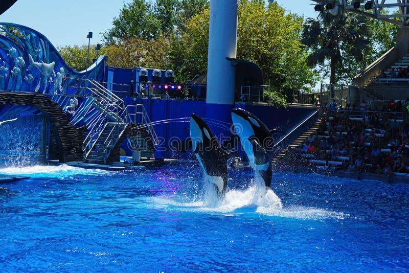 跳跃为访客的三条海怪鲸鱼 库存照片