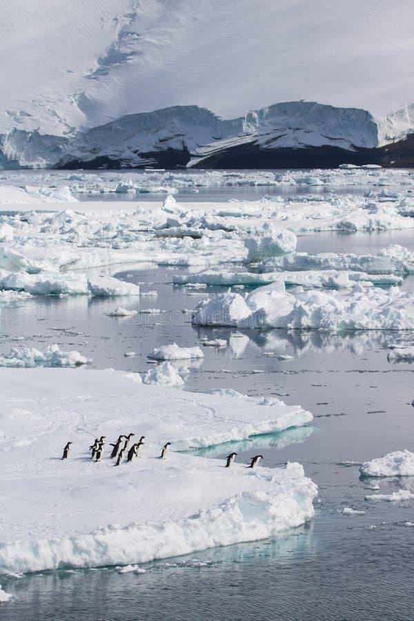 跳跃冰浮游物的Adelie企鹅 库存照片