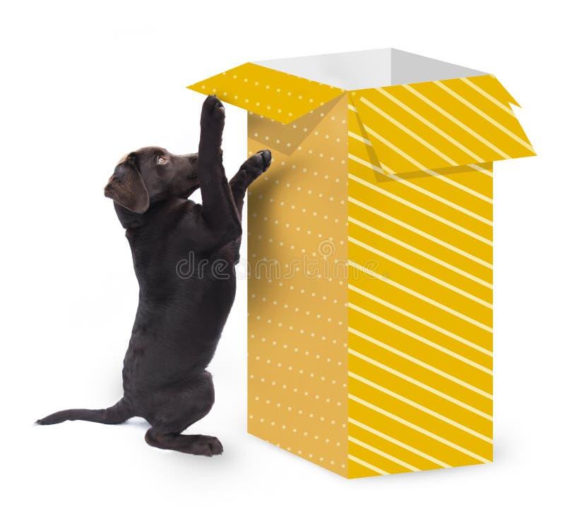 跳跃反对有在白色背景隔绝的黄色礼物纸的一个大当前箱子的逗人喜爱的好奇狗 免版税库存照片