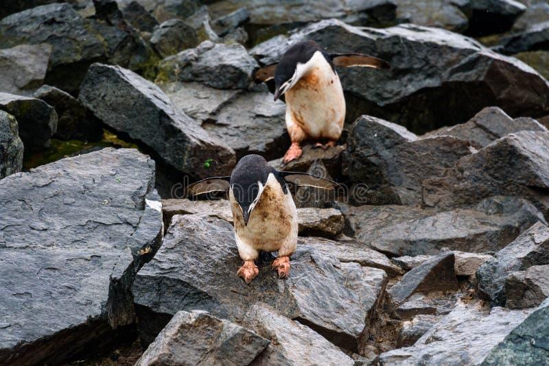 跳跃在崩落的岩石,半月岛,南极洲的企鹅高速公路下的两只泥泞的Chinstrap企鹅 库存照片