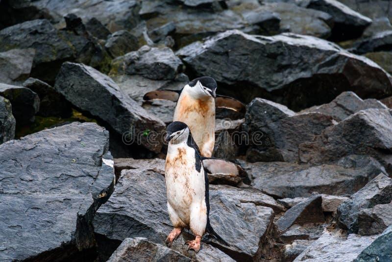跳跃在崩落的岩石,半月岛,南极洲的企鹅高速公路下的两只泥泞的Chinstrap企鹅 免版税图库摄影