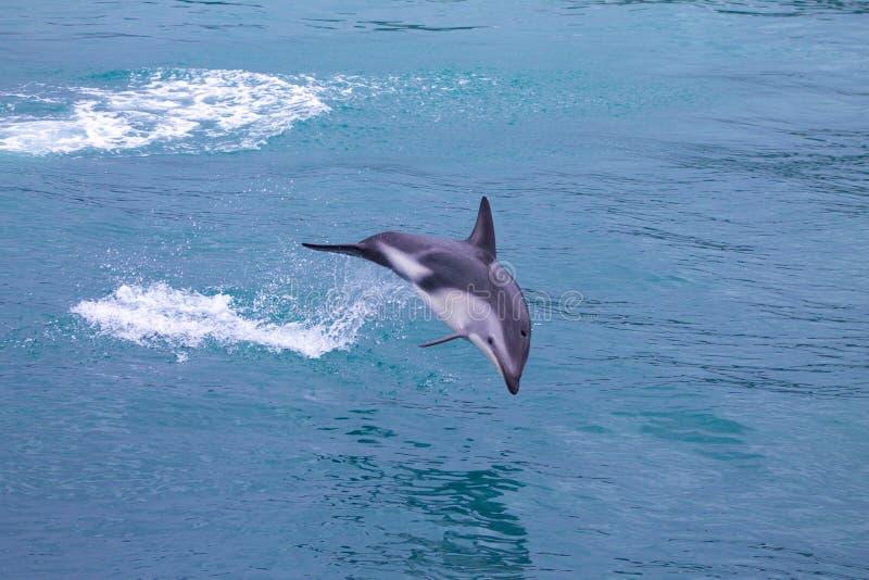 跳跃在海的暗淡的海豚在Kaikoura 免版税图库摄影